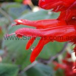 Salvia libanensis