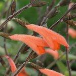 image salvia-llorona-salmon-flowers-jpg