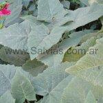 Salvia macrophylla