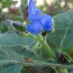Salvia macrophylla x sagittata
