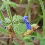 Salvia minarum