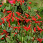 Salvia miniata
