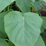 image salvia-macrophylla-kuelap-leaf-jpg