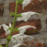 image salvia-macrophylla-kuelap-flower-stamens-jpg