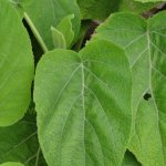 image salvia-macrophylla-kuelap-leaves-jpg