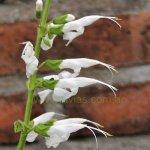 image salvia-macrophylla-kuelap-raceme-jpg