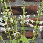 image salvia-macrophylla-kuelap-racemes-jpg
