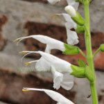 image salvia-macrophylla-kuelap-stamens-jpg