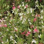 Salvia microphylla Pink Lips 'Jeremy'