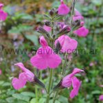 S. microphylla 'Pink Blush'