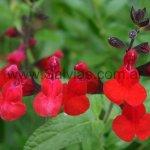 S. microphylla 'Red Velvet'