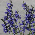 Salvia 'Omaha Gold'