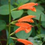 Salvia oppositiflora 'forma gigante'