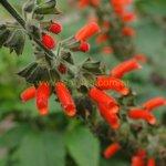 image salvia-orthostachys-close-up-jpg