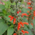 image salvia-orthostachys-flowers-jpg
