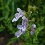 Salvia namaensis