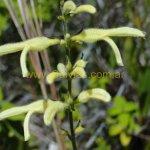 Salvia ochrantha