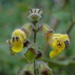 image salvia-omeiana-flowers-jpg