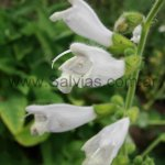 Salvia 'Out of the mist'