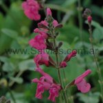 Salvia 'Penny´s Smile'