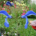 Salvia patens 'Giant Form'