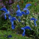Salvia patens 'Giant Form'