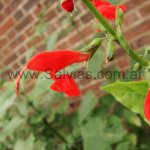 Salvia pauciserrata
