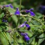 Salvia pennellii