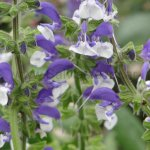 Salvia pratensis 'Madeline'