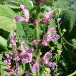 S. pratensis 'Rose Rapsody'