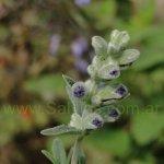 Salvia pseudorosmarinus