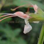 image salvia-psilostachya-exserted-flower-colour-jpg