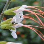 image salvia-psilostachya-flower-detail-jpg