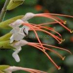 image salvia-psilostachya-flower-stamens-jpg