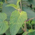 image salvia-psilostachya-foliage-jpg
