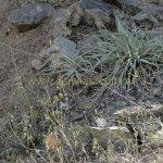 image salvia-psilostachya-habitat-jpg