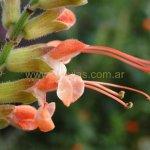 image salvia-psilostachya-pink-form-jpg