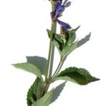 Salvia pteroura