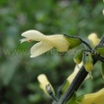 Salvia punctata 0012