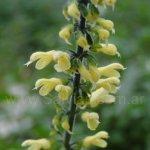 Salvia punctata