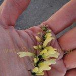 Salvia punctata 0013 en hábitat
