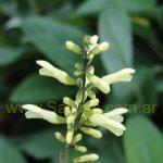 Salvia punctata 0013