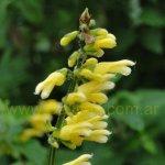 Salvia punctata 0048