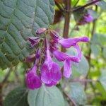 image salvia-raymondii-flower-jpg