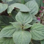 image salvia-raymondii-leaves-jpg