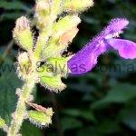 Salvia rogersiana