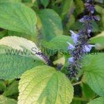 S. roscida de follaje variegado