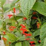 image salvia-rufula-plant-jpg