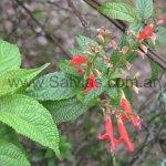 Salvia rufula