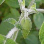 image salvia-raymondii-flower-bud-jpg